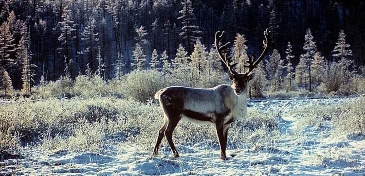Символ Воронежского заповедника – благородный олень.