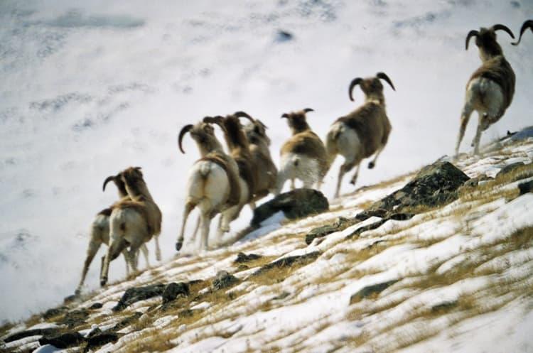 алтайский заповедник и его обитатели - Горные бараны