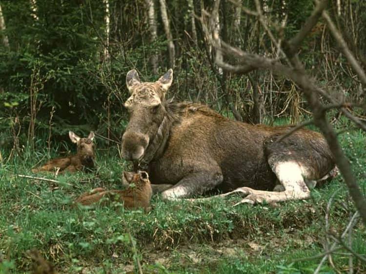 Лоси в воронежском заповеднике очень ценны и находятся под охраной
