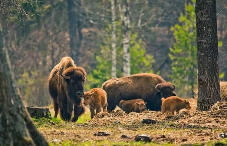 Зубры в Приокско-Террасном заповеднике живут в природных условиях