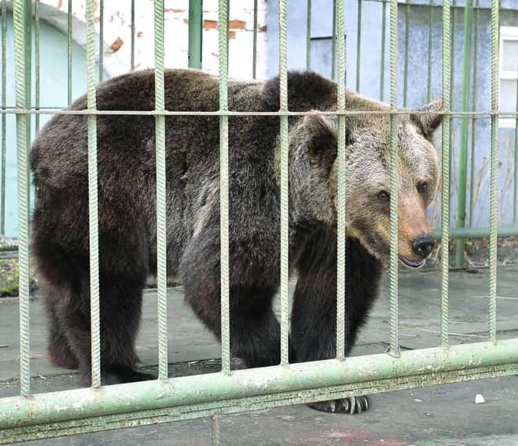 Медведица Маша живет в ярославском музей заповеднике