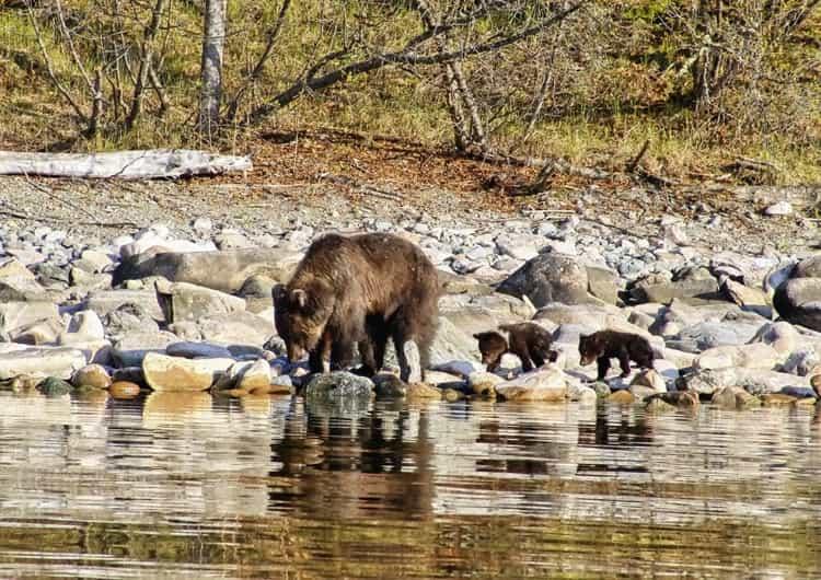 Баргузинский заповедник и его животный мир - медведь