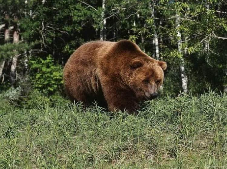 Южно Уральский Заповедник и его животный мир - бурые медведи
