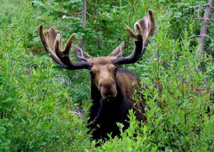 Южно Уральский Заповедник и его животный мир - лось