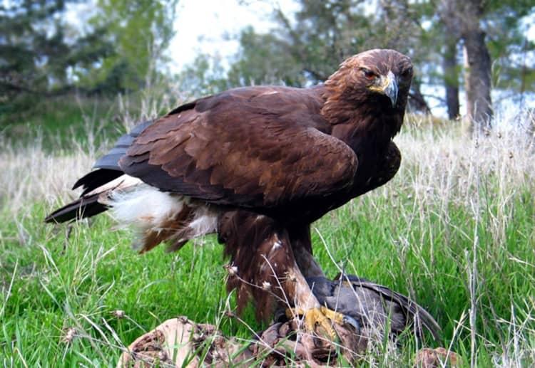Южно Уральский Заповедник и его животный мир, птица - орел